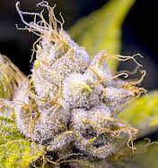 hybrid weed plant