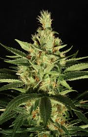 India weed strain