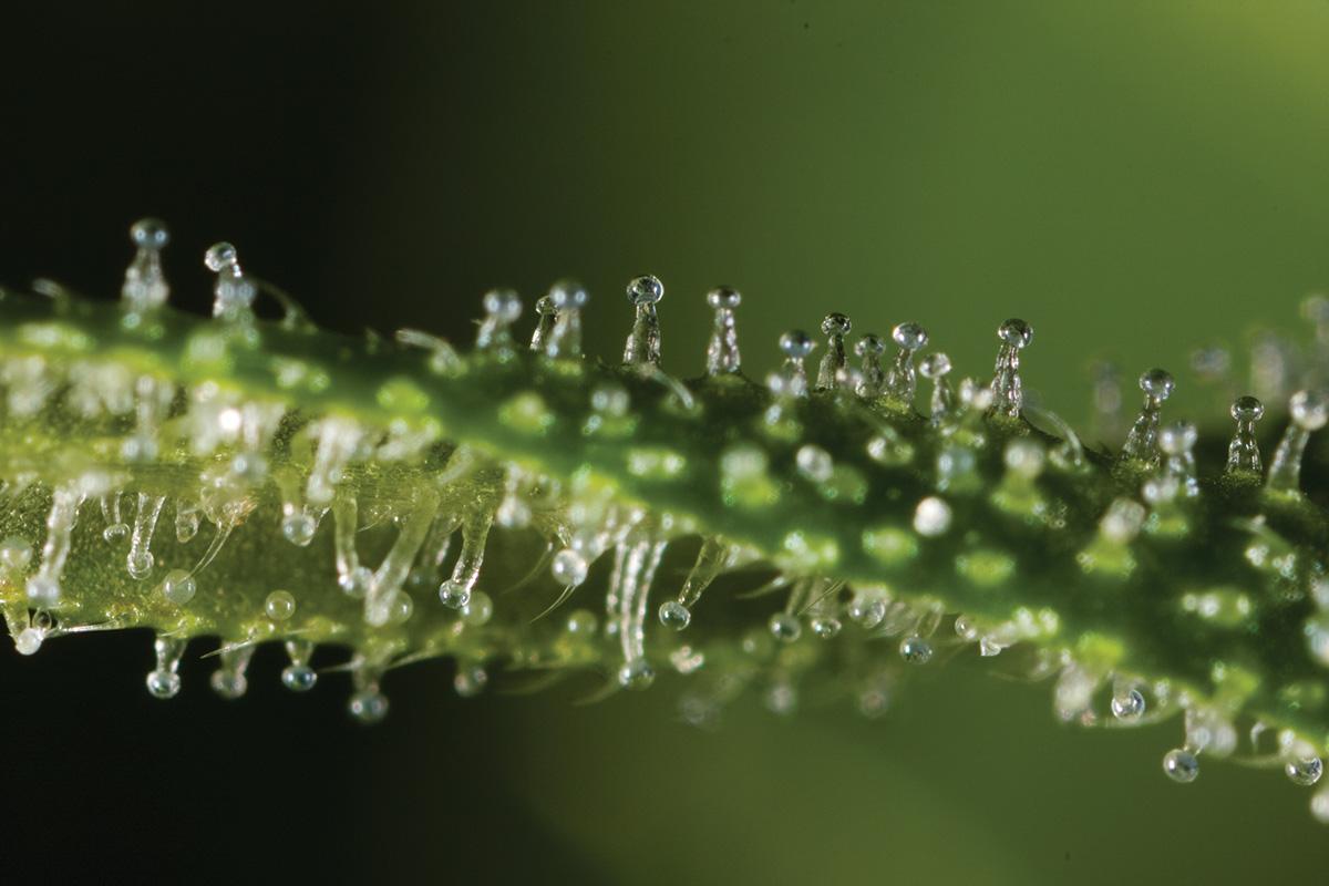Image of THC